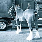 Clydesdale In Black And White Poster