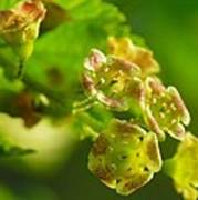 Currant In Bloom Poster