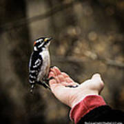 Downy Woodpecker In Hand Poster