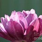 Exotic Tulip Poster