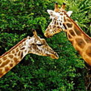 Giraffe's At Lowery Park Zoo  Poster
