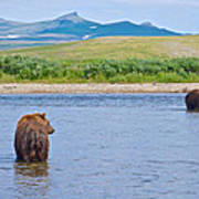 Grizzly Bears Looking At Each Other In Moraine River In Katmai Np-ak  Poster