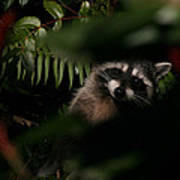 I Can See You  Mr. Raccoon Poster
