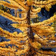 Larch Tree Closeup Poster