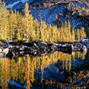Larch Tree Reflection  Poster