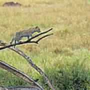 Leopard Cub In Serengeti Poster