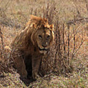 Lions Of The Ngorongoro Crater Poster