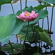 Lotus Flower At Calloway Poster
