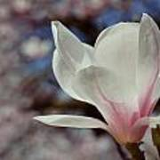 Magnolia Flowers In Spring Time Poster