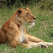 Masai Mara Lioness Poster
