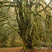 Moss-covered Big Leaf Maple Tree Poster