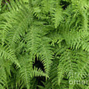 Mountain Ferns Of North Carolina Poster