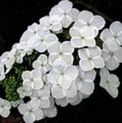 Oak Leaf Hydrangea Poster