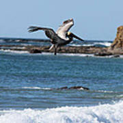 Pelican With Wet Feet Poster