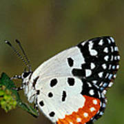 Red Pierrot Butterfly Poster