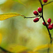 Spicebush With Red Berries Poster
