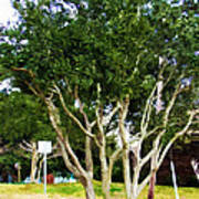 Trees In A Suburban Neighborhood In Summer Poster
