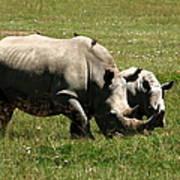White Rhino Mother And Calf Poster by Aidan Moran