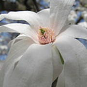 Willowy Magnolia Blossom Poster