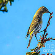 Yellow-rumped Warbler Poster