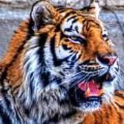 001 Siberian Tiger  Poster