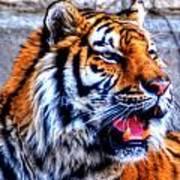 002 Siberian Tiger Poster
