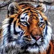 004 Siberian Tiger Poster