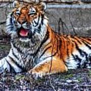 008 Siberian Tiger Poster