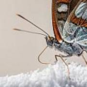 01 Southern White Admiral Butterfly Close Up Poster