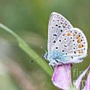 02 Common Blue Butterfly Poster
