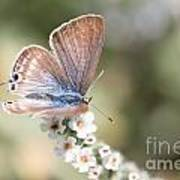 02 Long-tailed Blue Butterfly Poster