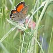03 Balkan Copper Butterfly Poster