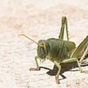 03 Egyptian Locust Grasshopper Poster