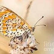 03 Lesser Spotted Fritillary Poster