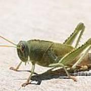 05 Egyptian Locust Grasshopper Poster