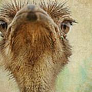 Ostrich Closeup Poster