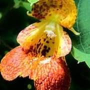 Spotted Jewelweed Poster