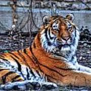 0013 Siberian Tiger Poster