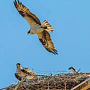 3 Ospreys At The Nest Poster