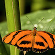 A Banded Orange Heliconian Butterfly Poster