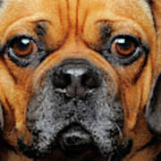 A Puggle Poster