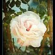 A Rose Is A Rose Poster