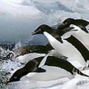 Adelie Penguins Poster