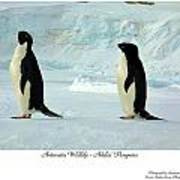 Adelie Penguins Poster by David Barringhaus
