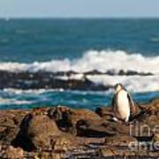 Adult Nz Yellow-eyed Penguin Or Hoiho On Shore Poster