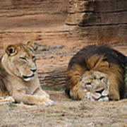 African Lion Couple 3 Poster