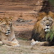 African Lion Couple Poster