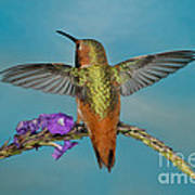 Allens Hummingbird Male Poster