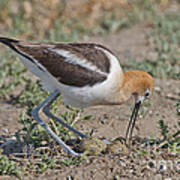 American Avocet And Eggs Poster