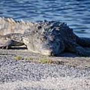 American Crocodile Poster